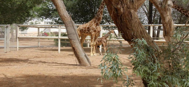 Doha Zoo giraffe gives birth after 15 months of being pregnant